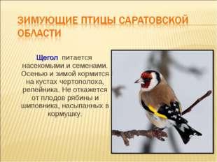 Щегол питается насекомыми и семенами. Осенью и зимой кормится на кустах черт