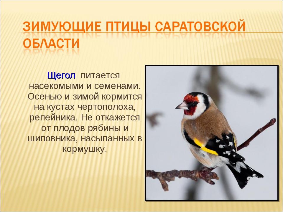 Щегол питается насекомыми и семенами. Осенью и зимой кормится на кустах черт...