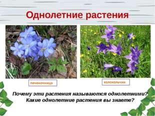 Почему эти растения называются однолетними? Какие однолетние растения вы знае