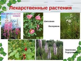Лекарственные растения Шиповник Валериана Земляника Подорожник