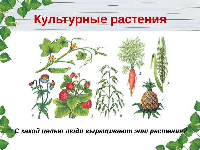С какой целью люди выращивают эти растения? Культурные растения