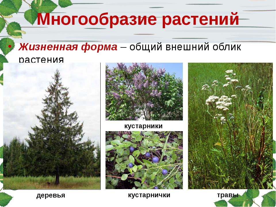 Многообразие растений Жизненная форма – общий внешний облик растения деревья...