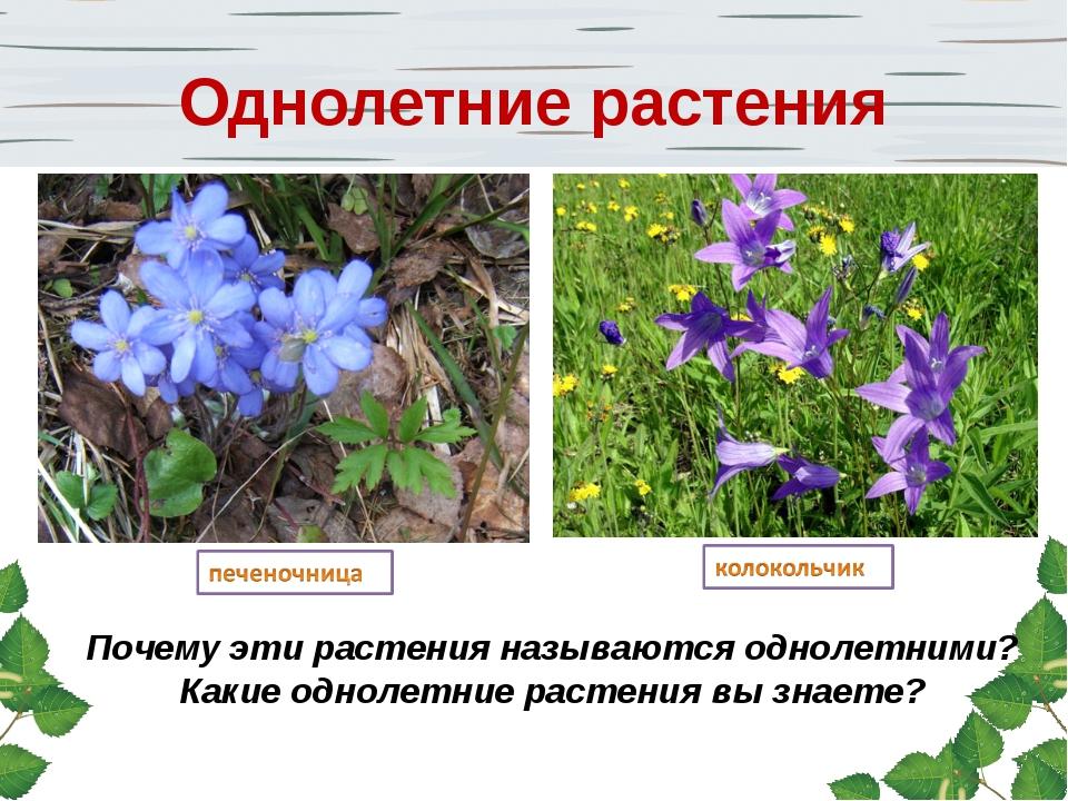 Почему эти растения называются однолетними? Какие однолетние растения вы знае...