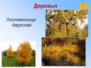 Деревья Лиственница даурская