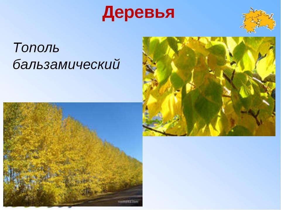 Деревья Тополь бальзамический