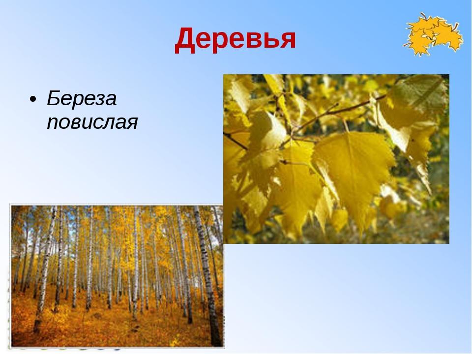 Деревья Береза повислая