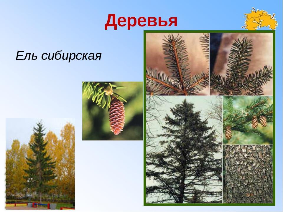 Деревья Ель сибирская