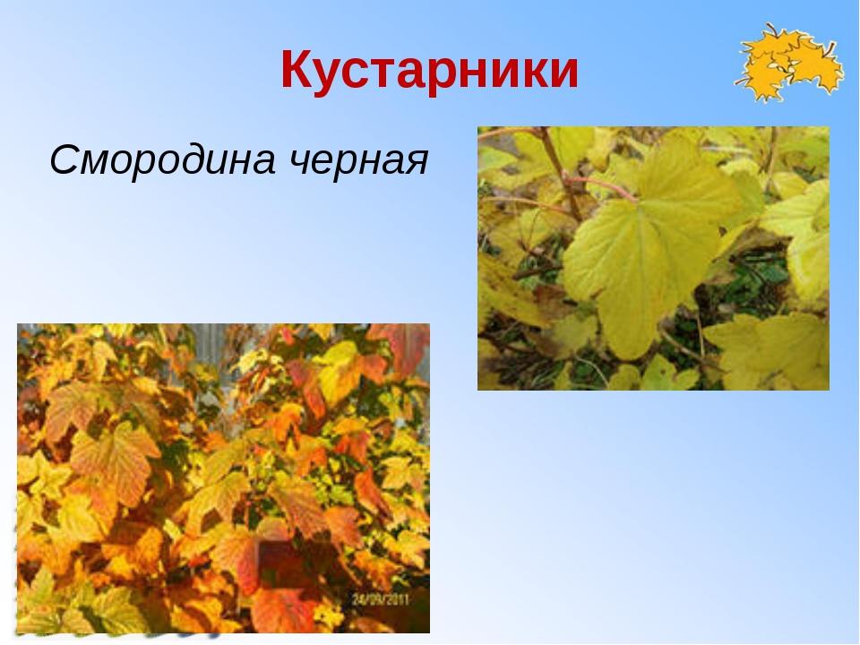 Кустарники Смородина черная