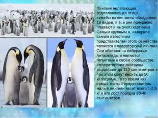Пингвин нелетающая, водоплавающая птица, семейство пингвины объединяет 18 вид