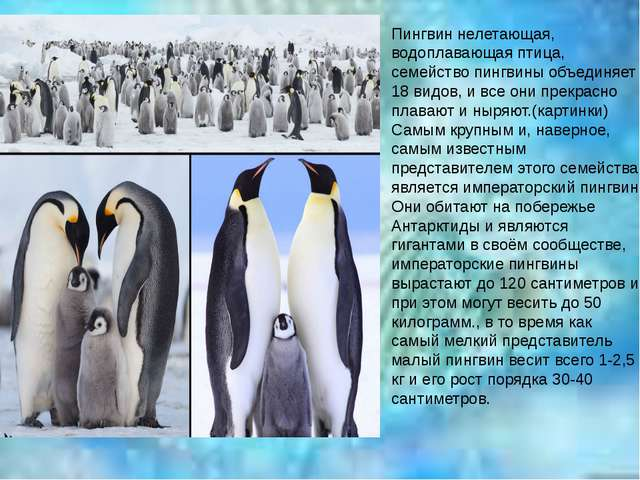 Пингвин нелетающая, водоплавающая птица, семейство пингвины объединяет 18 вид...