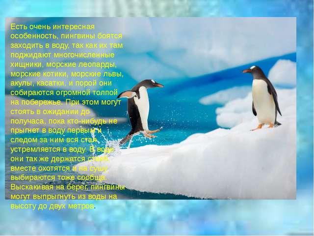 Есть очень интересная особенность, пингвины боятся заходить в воду, так как и...
