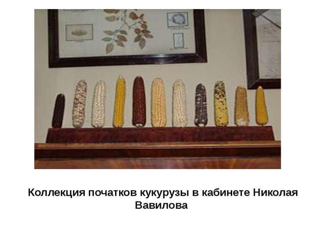 Коллекция початков кукурузы в кабинете Николая Вавилова