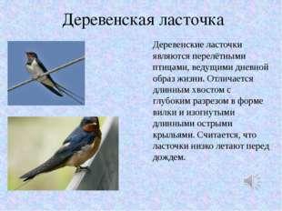 Деревенская ласточка Деревенские ласточки являются перелётными птицами, ведущ
