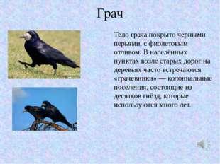 Грач Тело грача покрыто черными перьями, с фиолетовым отливом. В населённых п