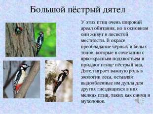 Большой пёстрый дятел У этих птиц очень широкий ареал обитания, но в основном