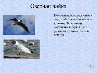 Озерная чайка Небольшая изящная чайка с округлой головой и тонким клювом. Тел