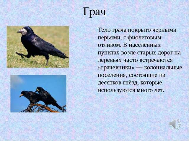 Грач Тело грача покрыто черными перьями, с фиолетовым отливом. В населённых п...