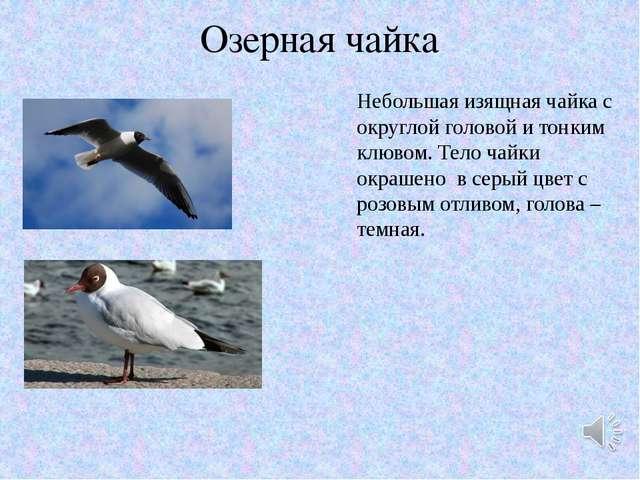 Озерная чайка Небольшая изящная чайка с округлой головой и тонким клювом. Тел...