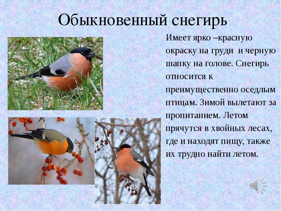 Обыкновенный снегирь Имеет ярко –красную окраску на груди и черную шапку на г...