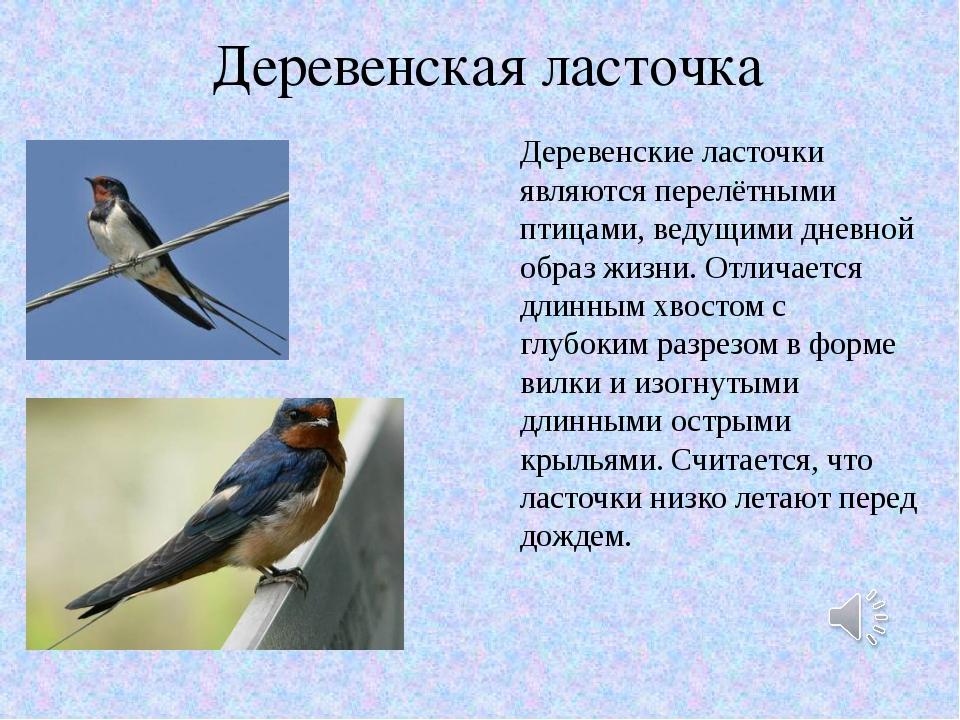 Деревенская ласточка Деревенские ласточки являются перелётными птицами, ведущ...