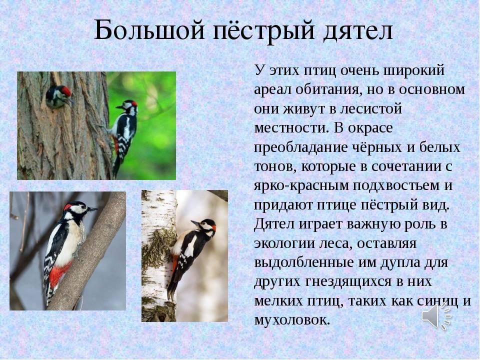 Большой пёстрый дятел У этих птиц очень широкий ареал обитания, но в основном...