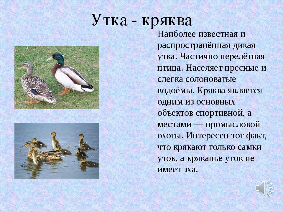Утка - кряква Наиболее известная и распространённая дикая утка. Частично пере...