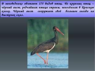 В заповеднике обитают 175 видов птиц. Из крупных птиц – чёрный аист, редчайша