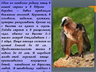Одна из наиболее редких птиц в нашей стране и в Европе - бородач – давно прив