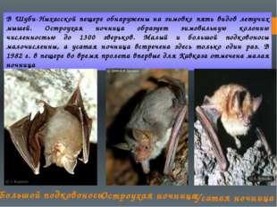 В Шуби-Ныхасской пещере обнаружены на зимовке пять видов летучих мышей. Остро