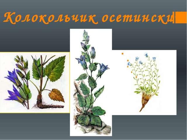 Колокольчик осетинский