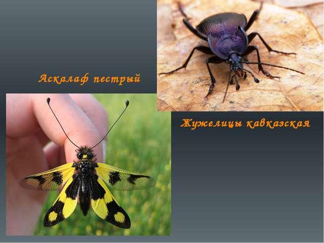 Аскалаф пестрый Жужелицы кавказская