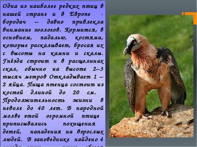 Одна из наиболее редких птиц в нашей стране и в Европе - бородач – давно прив...