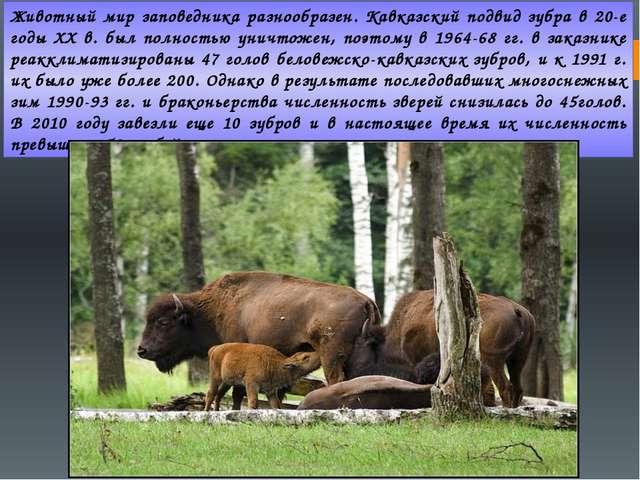 Животный мир заповедника разнообразен. Кавказский подвид зубра в 20-е годы XX...