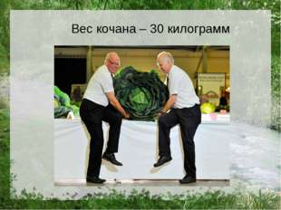 Вес кочана – 30 килограмм