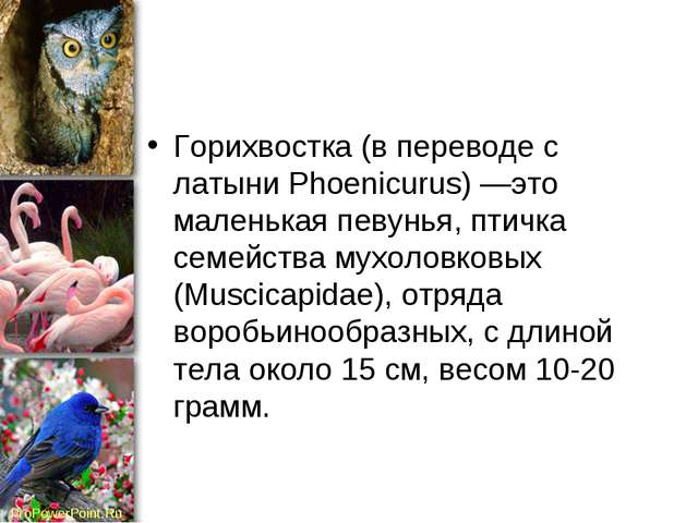 Горихвостка (в переводе с латыни Phoenicurus) —это маленькая певунья, птичка...