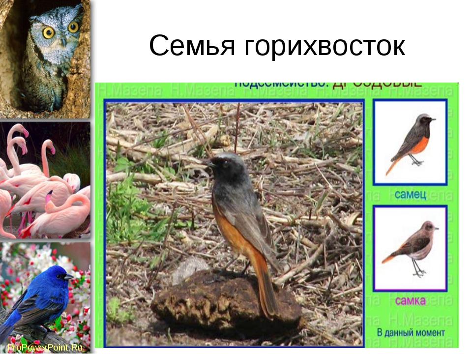 Семья горихвосток ProPowerPoint.Ru