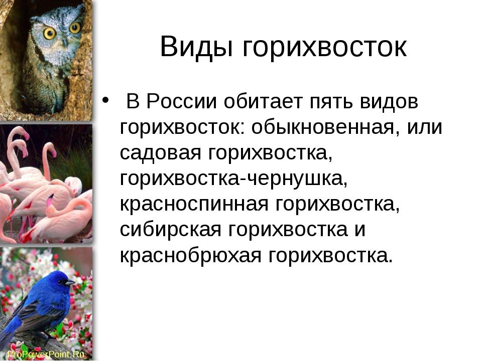 Виды горихвосток В России обитает пять видов горихвосток: обыкновенная, или с...