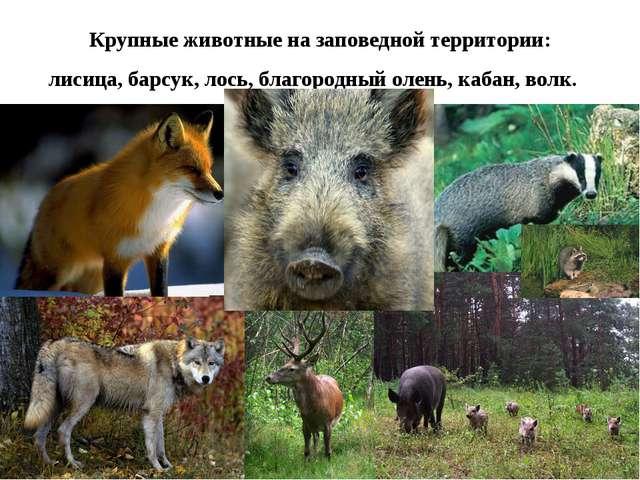Крупные животные на заповедной территории: лисица, барсук, лось, благородный...