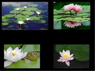 Из Энциклопедии: … многолетнее травянистое водное растение с крупными длинно