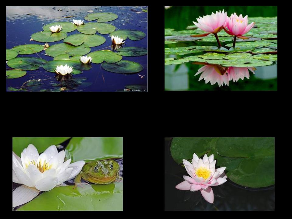Из Энциклопедии: … многолетнее травянистое водное растение с крупными длинно...