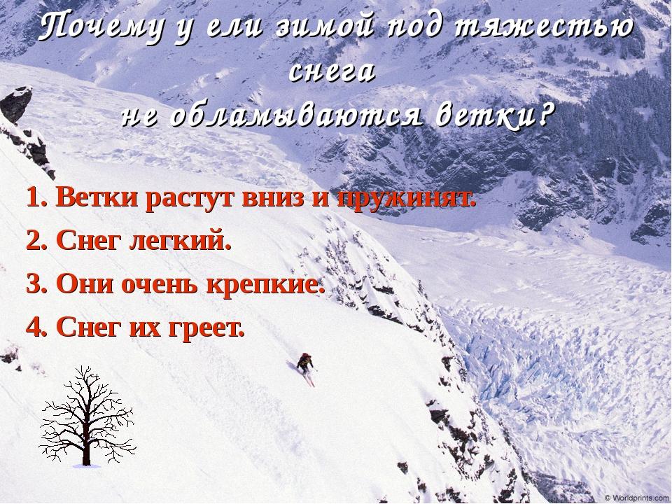 Почему у ели зимой под тяжестью снега не обламываются ветки? 1. Ветки растут...