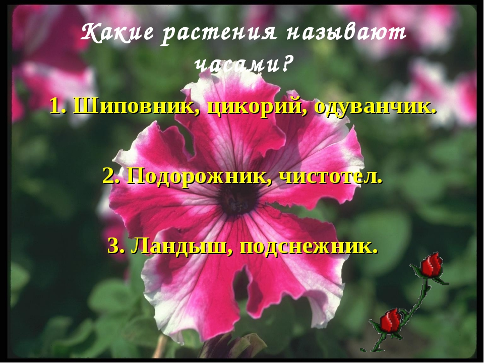 Какие растения называют часами? 1. Шиповник, цикорий, одуванчик. 2. Подорожни...