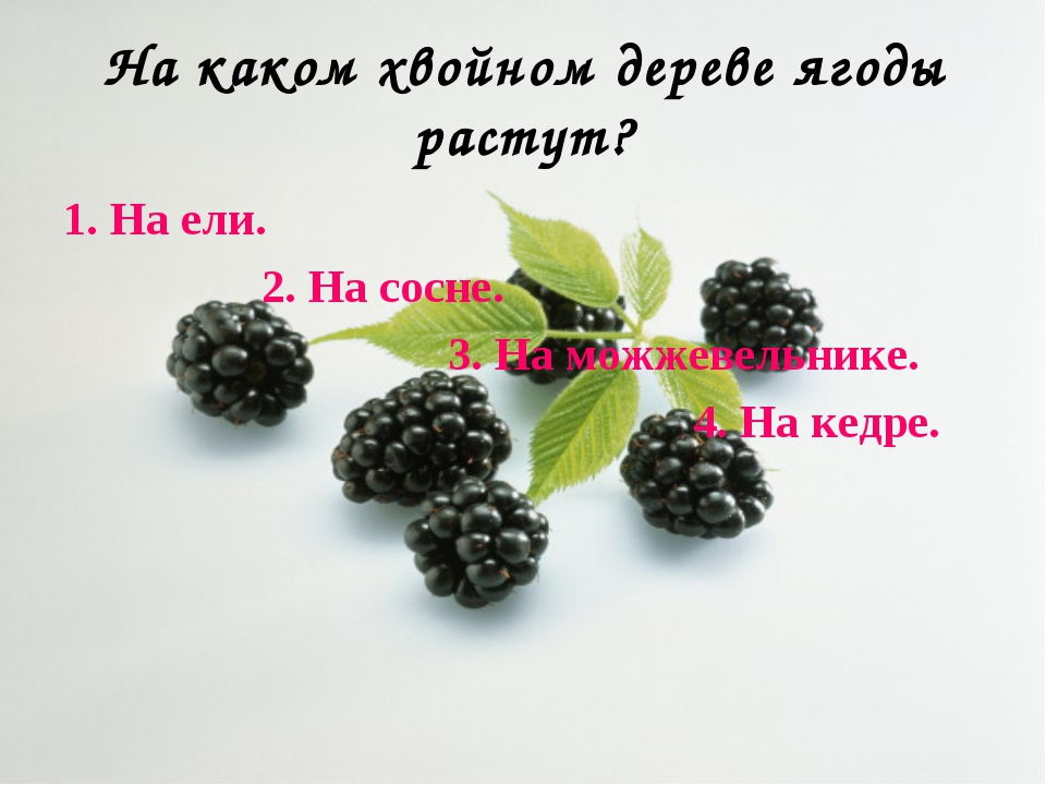 На каком хвойном дереве ягоды растут? 1. На ели. 2. На сосне. 3. На можжевель...