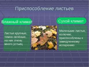 Приспособление листьев Влажный климат Листья крупные, темно-зелёные, на них о