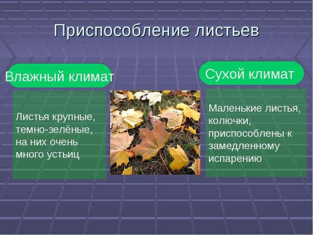 Приспособление листьев Влажный климат Листья крупные, темно-зелёные, на них о...