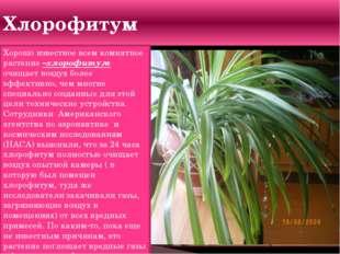 Хлорофитум Хорошо известное всем комнатное растение –хлорофитум очищает возду