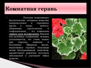 Растение выделяющее биологические активные вещества (цитранелловое и герание