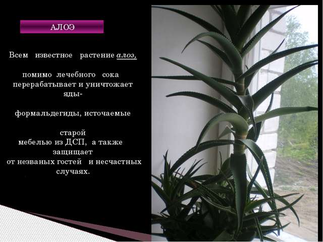 Всем известное растение алоэ, помимо лечебного сока перерабатывает и уничтожа...