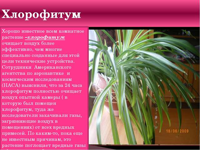 Хлорофитум Хорошо известное всем комнатное растение –хлорофитум очищает возду...