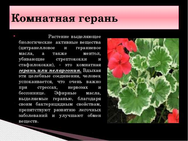 Растение выделяющее биологические активные вещества (цитранелловое и герание...